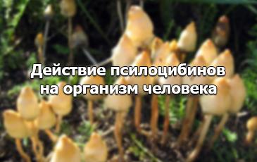 Галлюциногенные грибы - действие
